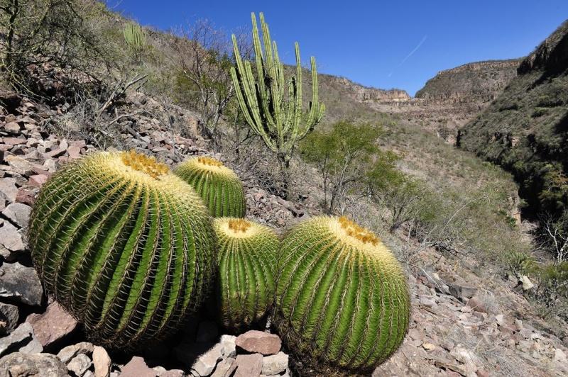 Echinocactus grusonii Gruson11