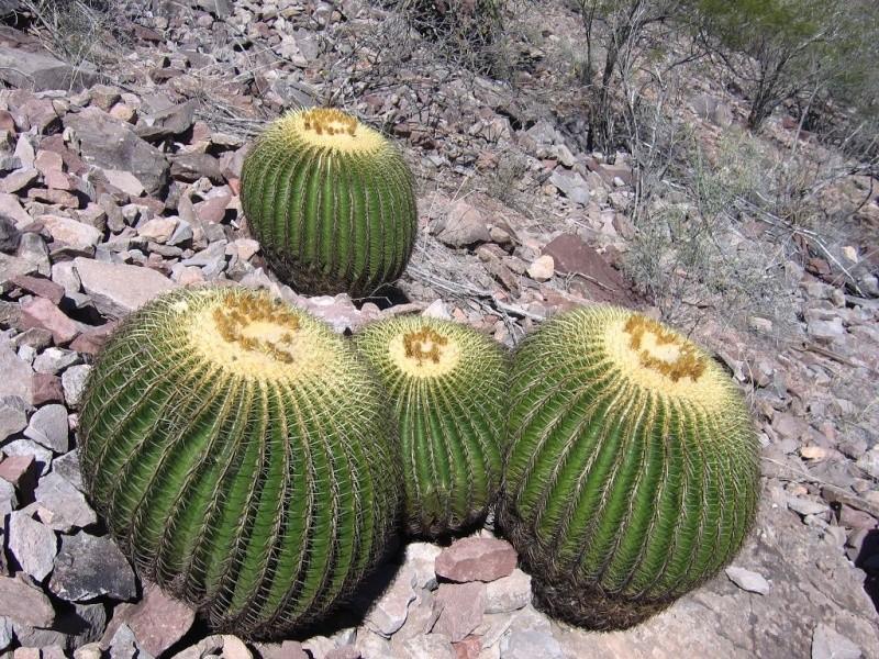 Echinocactus grusonii Gruson13