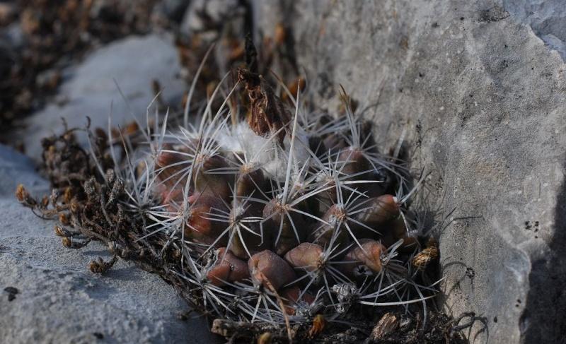 Gymnocactus saueri ssp. saueri Gymnoc10