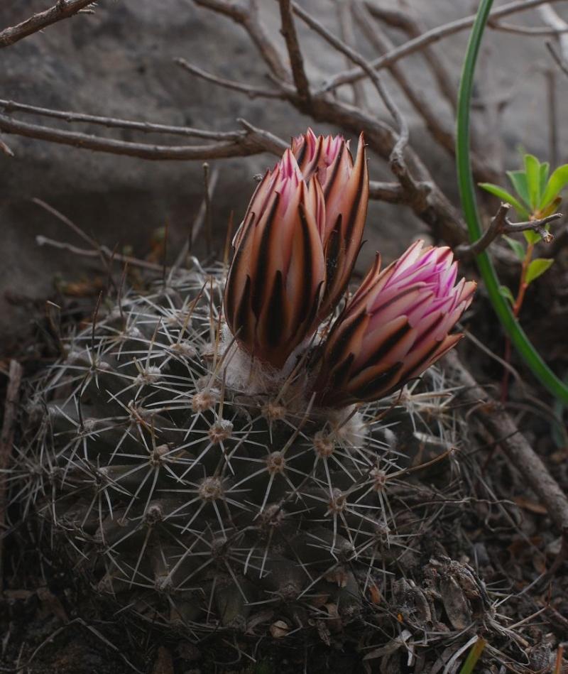 Gymnocactus saueri ssp. saueri Gymnoc18