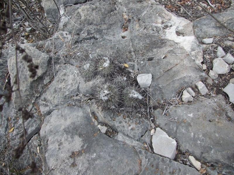 Turbinicarpus viereckii ssp. mayor Gymnoc24