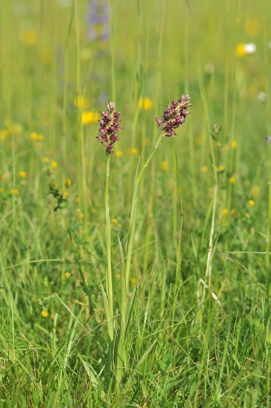 Coriophora dans le Jura Corio210