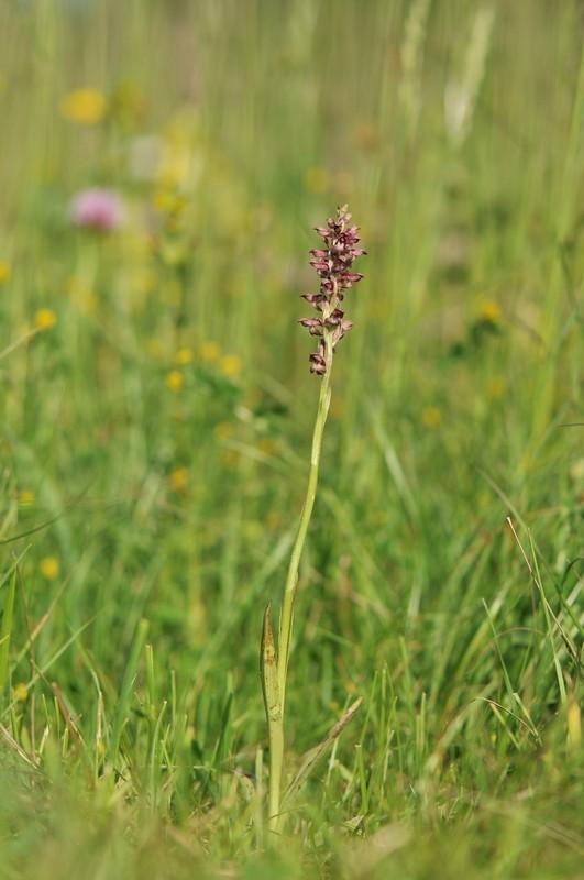 Coriophora dans le Jura Corio510