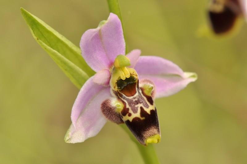 Ophrys gresivaudanica, Bugey, Juin 2013 Gresi110