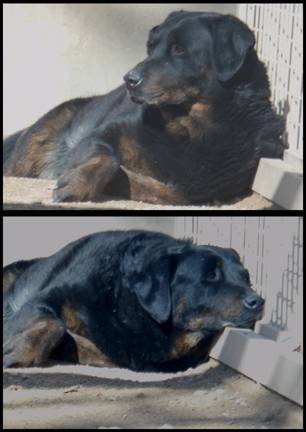 BAHIA  -  croisée  Labrador/Beauceron  13 ans (10 ans de refuge)  Refuge de Brignoles (83) Baya10