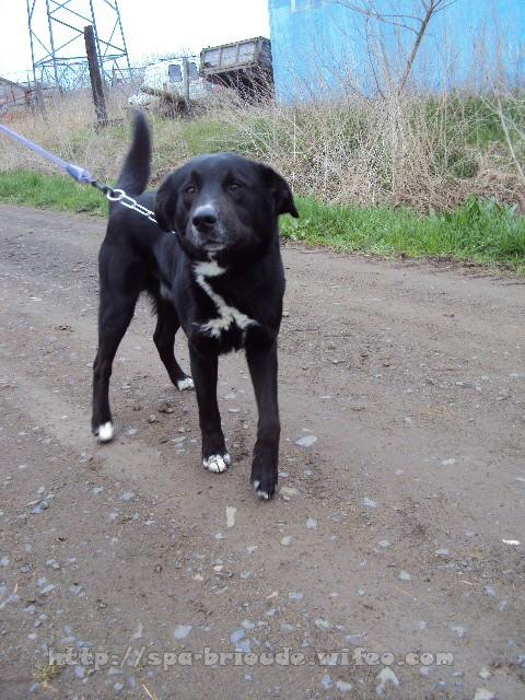 GIPSY -  croisé Labrador 8 ans   (6 ans de refuge)  -  SPA  DE  BRIOUDE  (43) Gipsy210