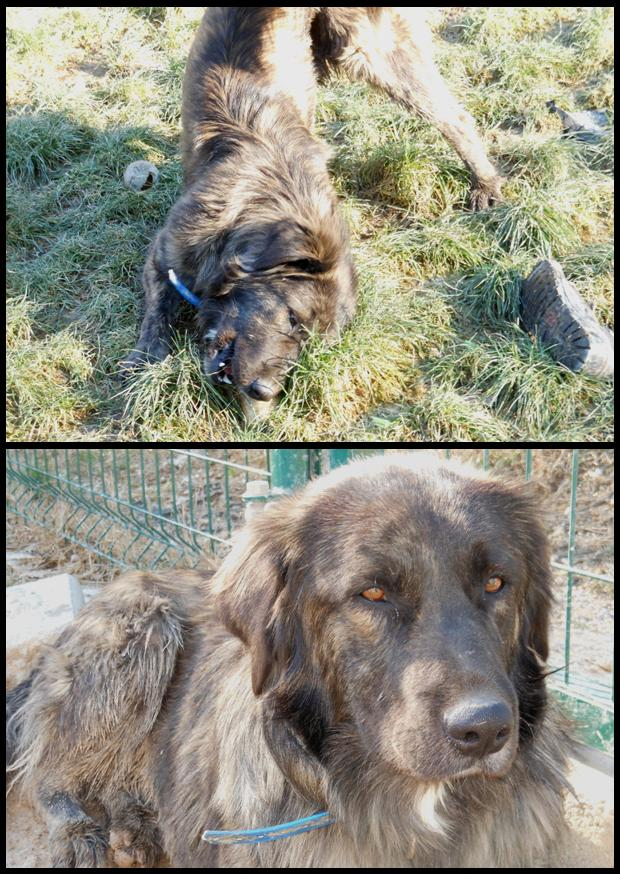 GORDON  -  croisé Golden Retriever  8 ans (7 ans de refuge)   -  REFUGE  DE  BRIGNOLES  (83) Gordon10