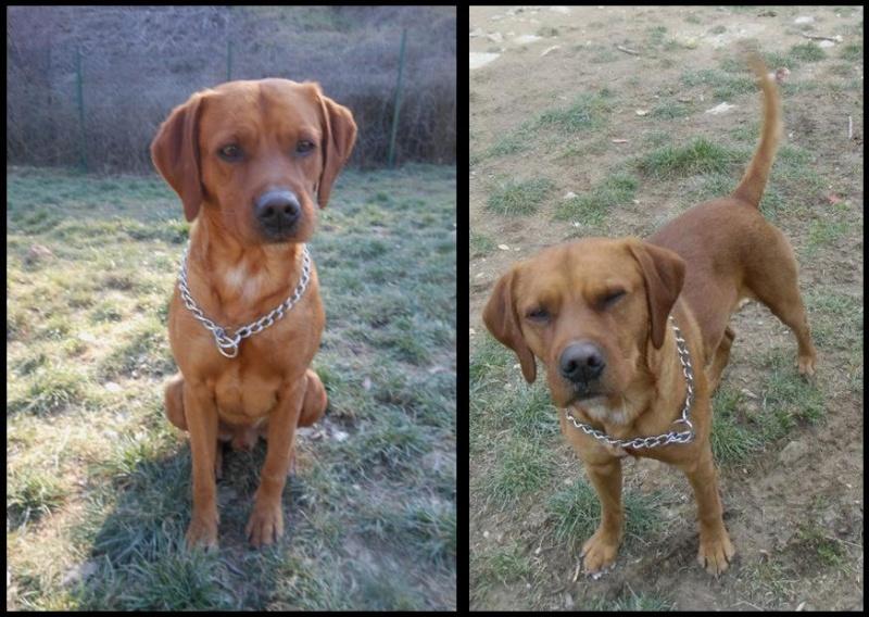 Aidez moi - REXx  -  croisé Labrador  10 ans   (8 ans  de refuge) -  REFUGE  DE  BRIGNOLES  (83) Rex310