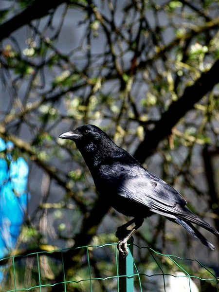corvus corone P5053821