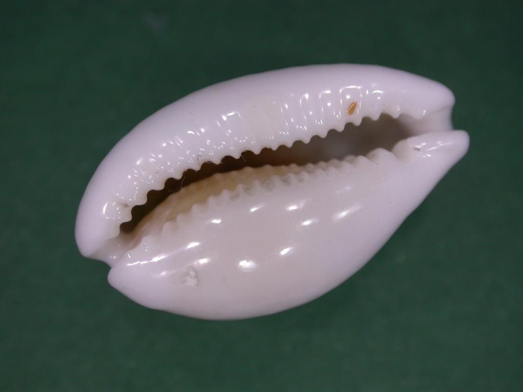Cribrarula esontropia francescoi - Lorenz, 2002 - Page 2 Dscn5015