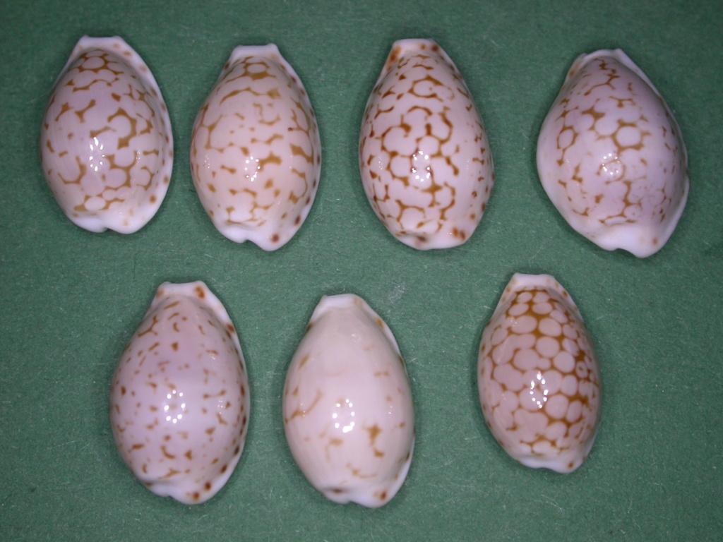 Cribrarula pellisserpentis - Lorenz, 1999 Dscn5017