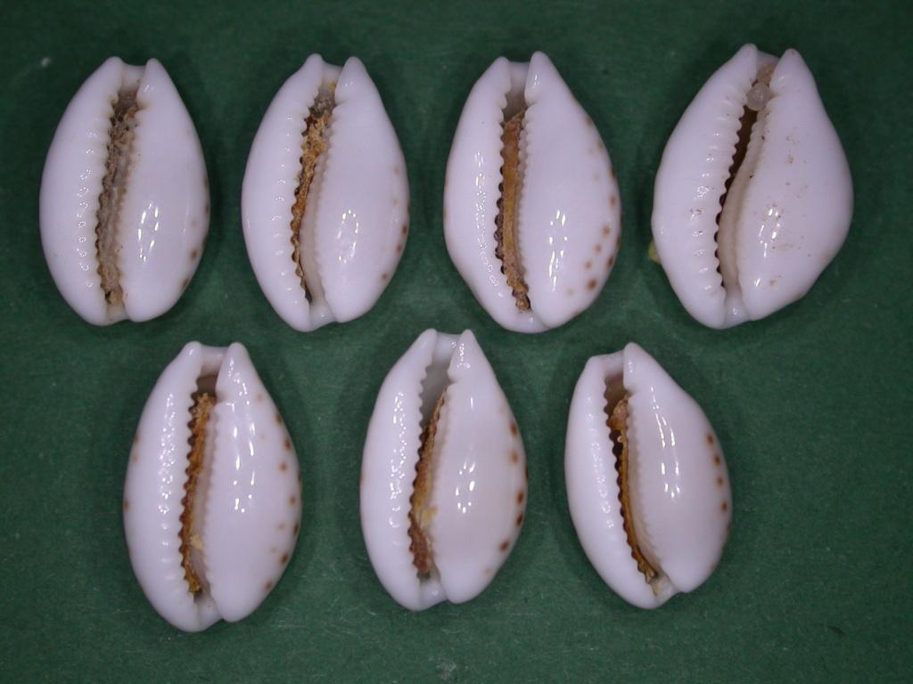 Cribrarula pellisserpentis - Lorenz, 1999 Dscn5018