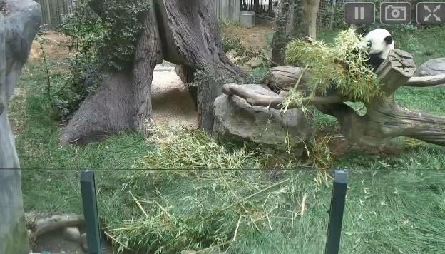Wildtier-Livecams Panda_10
