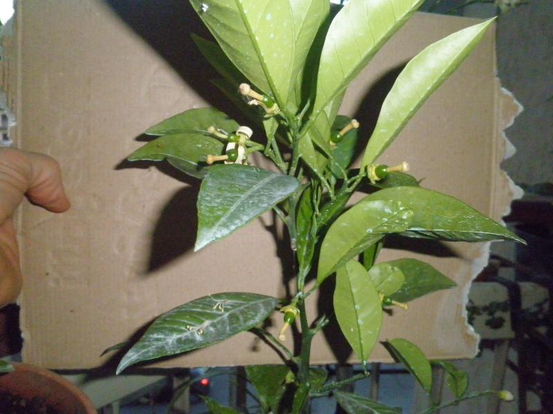 limone  da spruzzare con verderame. P5031018