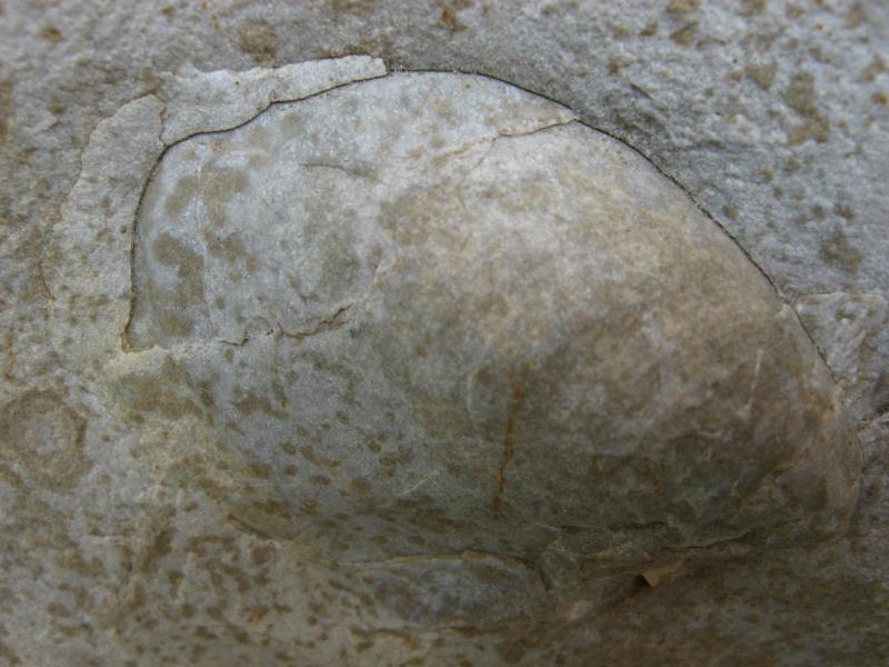 fossiles du Turonien (Crétacé supérieur) Saint Denis 02211