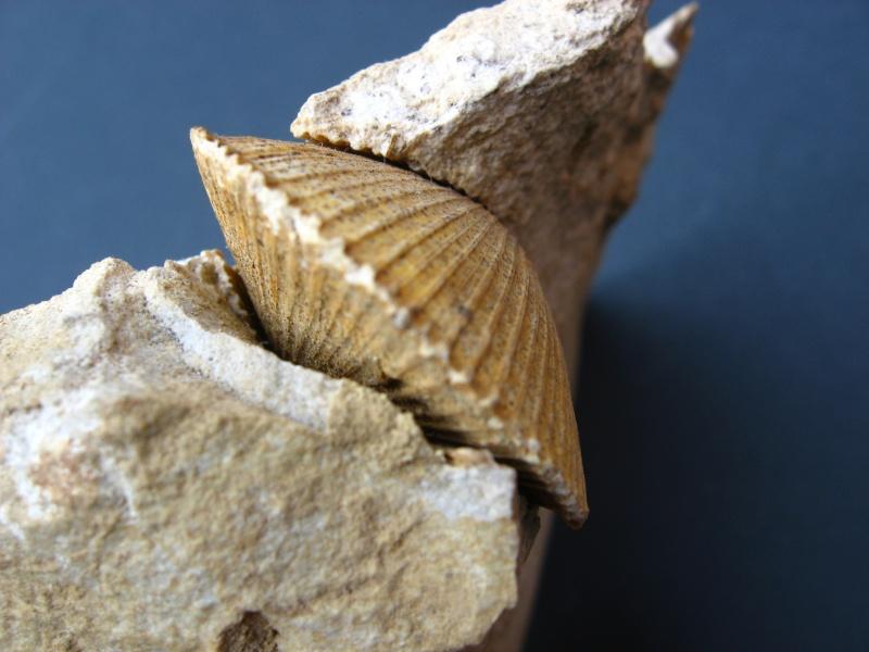 fossiles du Turonien (Crétacé supérieur) Saint Denis 03711