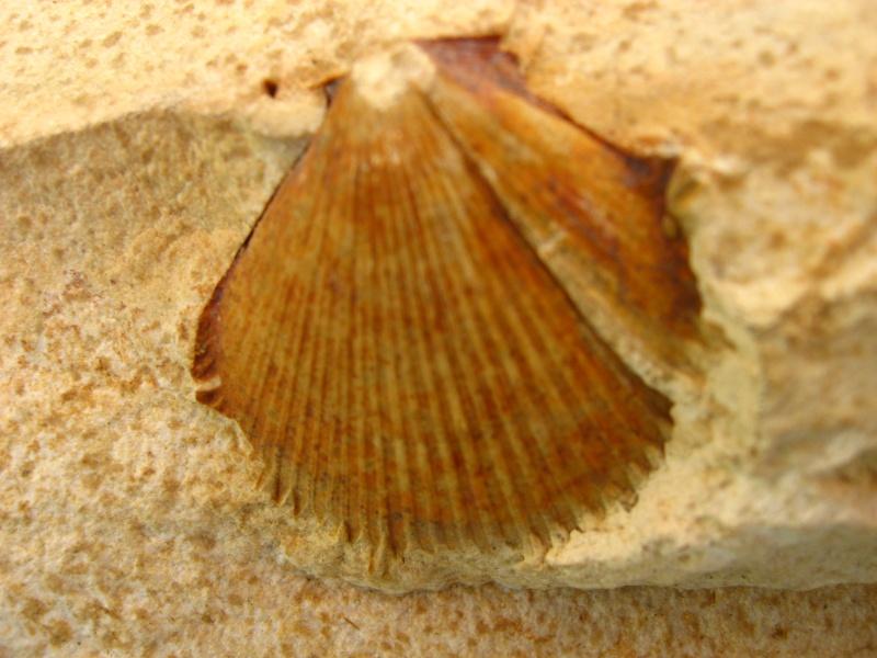 fossiles du Turonien (Crétacé supérieur) Saint Denis 04911