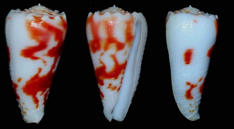 Conus (Phasmoconus) merleti  (Mayissian, 1974) voir Conus (Phasmoconus) moluccensis - Page 2 Conus_11