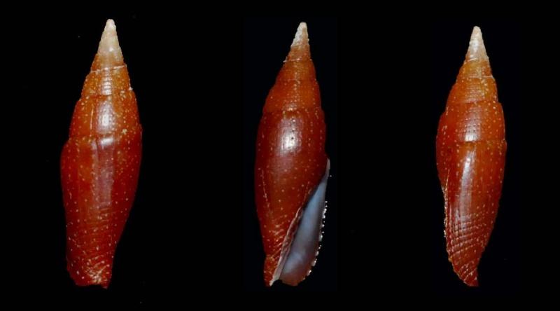 Strigatella fulvescens telum - Sowerby, 1874 Mitre_10