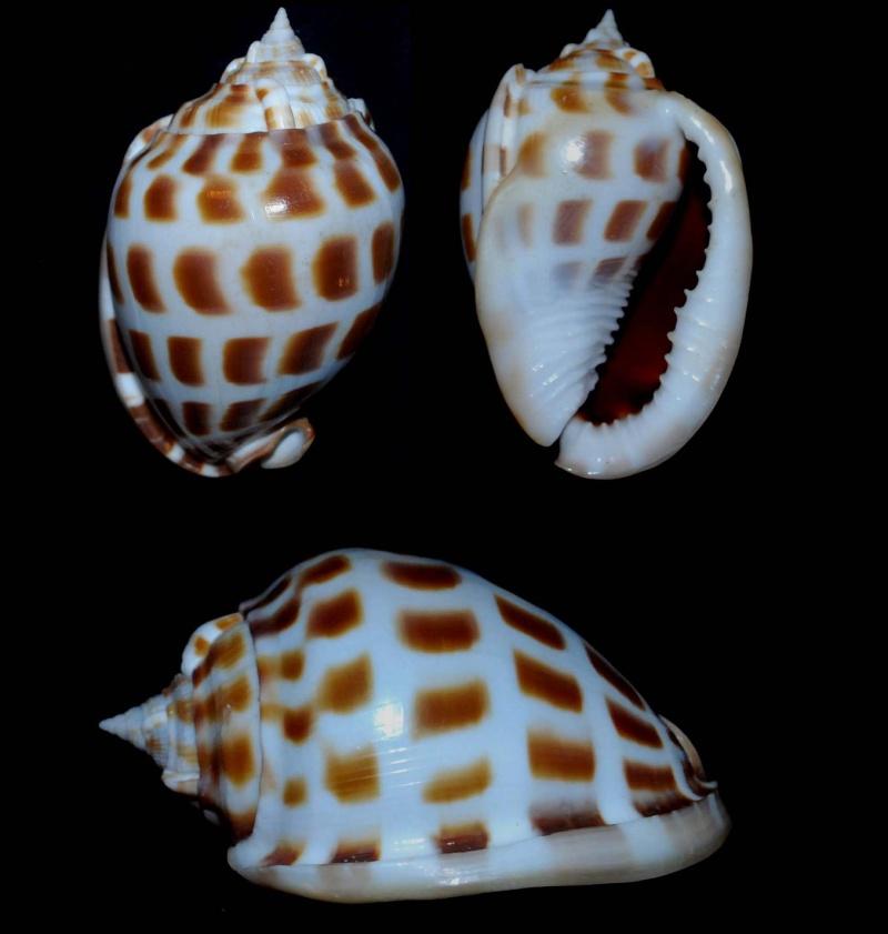Phalium areola - (Linnaeus, 1758) Phalli10