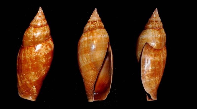 Terestrombus fragilis - (Röding, 1798)  Terest10