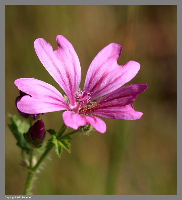Wildblumen ( Sammelthread) - Seite 3 Wasse105