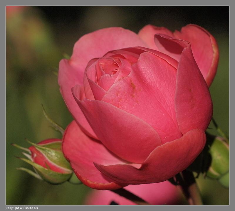 """Rosen - ein Thread für die """"Königin"""" - Seite 3 Wasse114"""