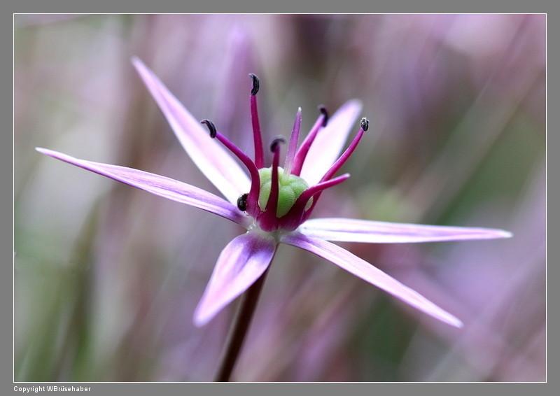 Amaryllisgewächse - Amaryllidaceae (Hippeastren, Nerine, Amaryllis, Agapanthus und auch Allium & Narzissen) - Seite 5 Wasse116