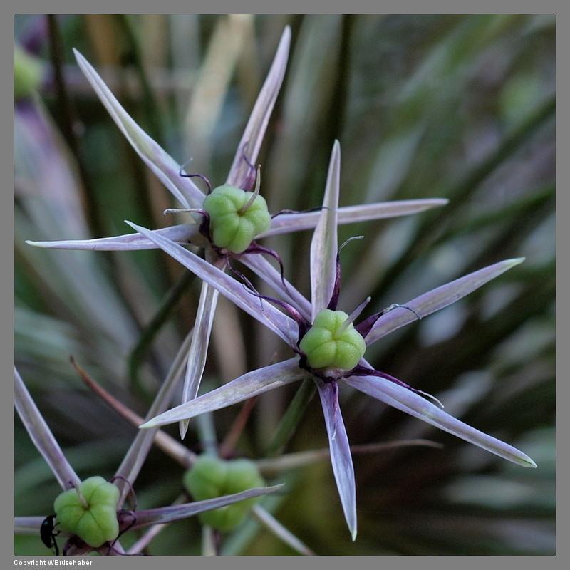 Amaryllisgewächse - Amaryllidaceae (Hippeastren, Nerine, Amaryllis, Agapanthus und auch Allium & Narzissen) - Seite 5 Wasse117