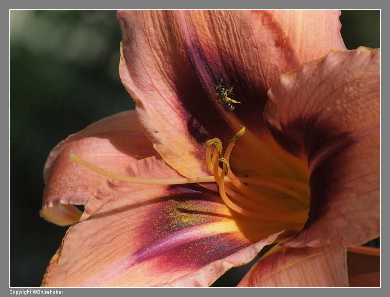 Hemerocallis - Taglilien - Schönheiten im Juni und Juli Wasse130