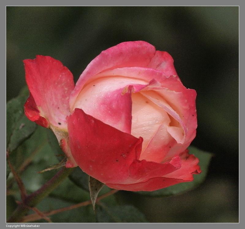 """Rosen - ein Thread für die """"Königin"""" - Seite 3 Wasse132"""