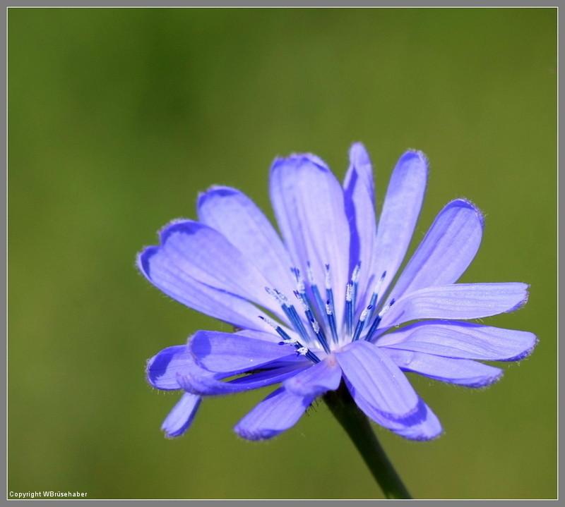 Wildblumen ( Sammelthread) - Seite 3 Wasse133