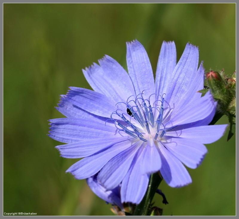 Wildblumen ( Sammelthread) - Seite 3 Wasse134