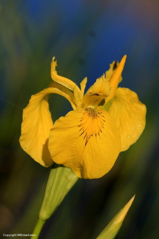 Wildblumen ( Sammelthread) Wasser41