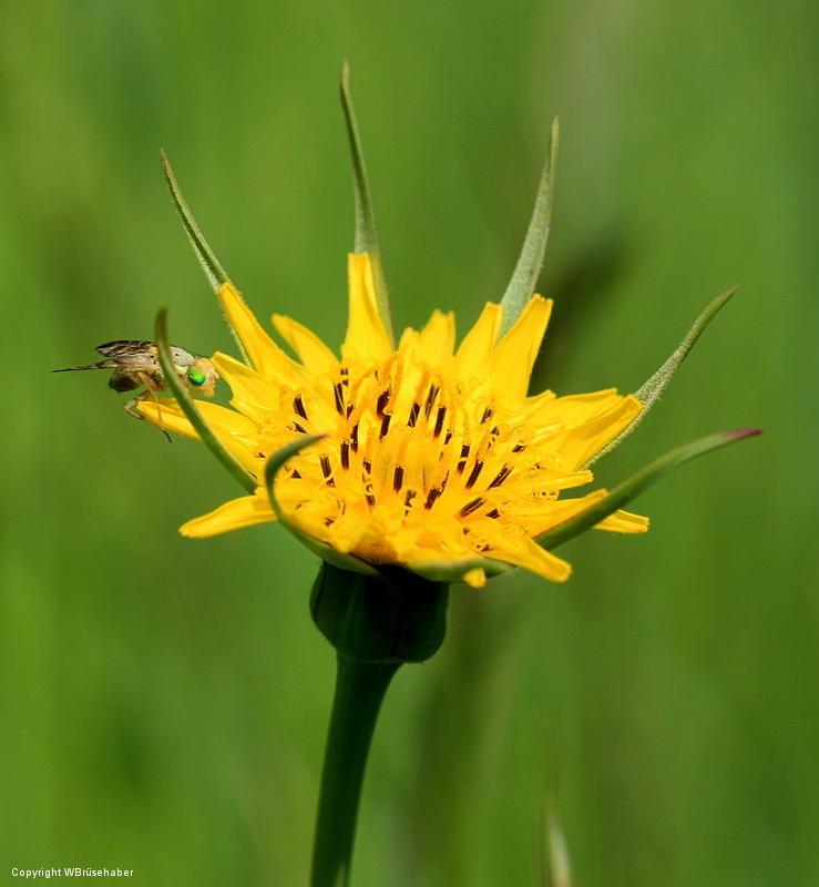 Wildblumen ( Sammelthread) Wasser52
