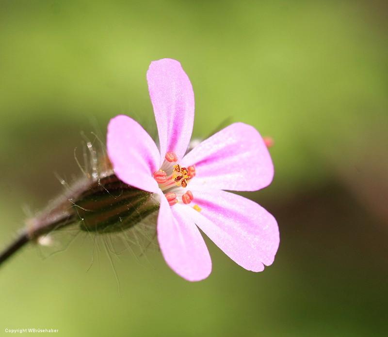 Wildblumen ( Sammelthread) Wasser53