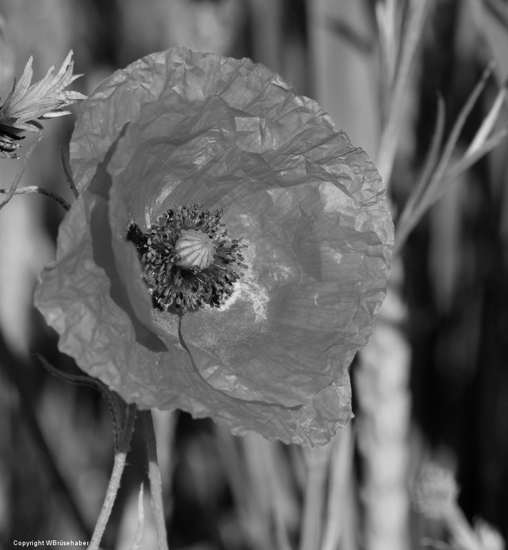 Wildblumen ( Sammelthread) Wasser59