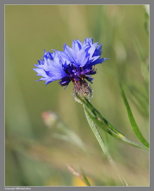 Wildblumen ( Sammelthread) Wasser61