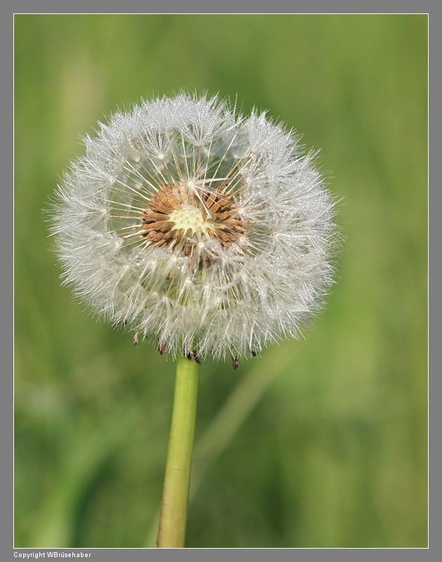 Wildblumen ( Sammelthread) Wasser62