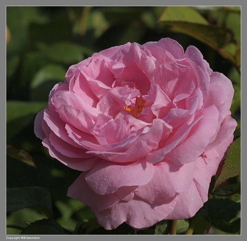 """Rosen - ein Thread für die """"Königin"""" Wasser67"""