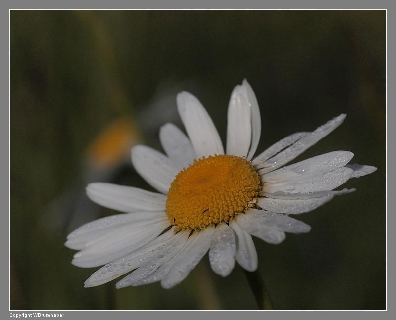 Wildblumen ( Sammelthread) - Seite 2 Wasser71