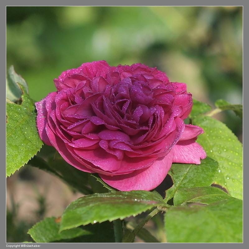 """Rosen - ein Thread für die """"Königin"""" Wasser72"""