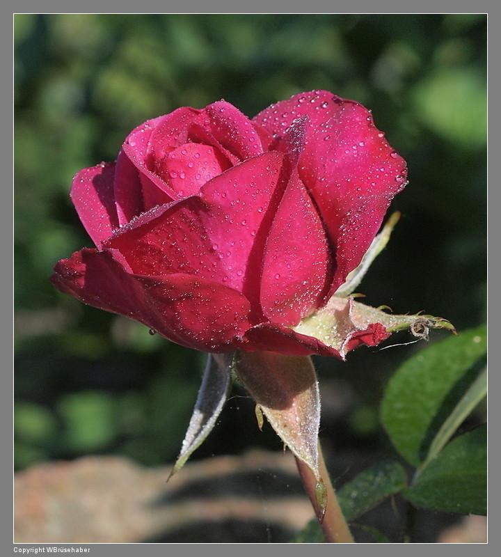 """Rosen - ein Thread für die """"Königin"""" Wasser73"""