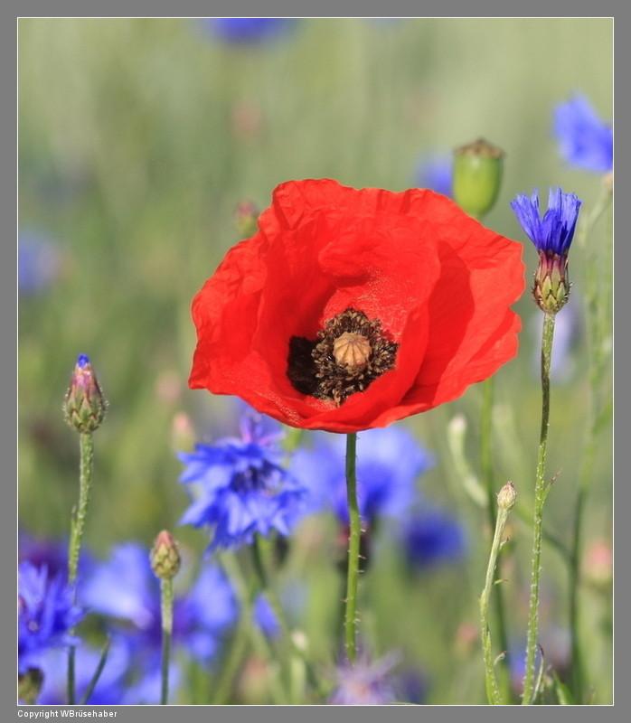 Wildblumen ( Sammelthread) - Seite 2 Wasser90