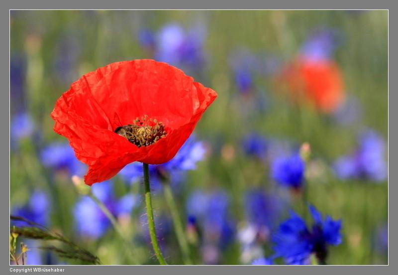Wildblumen ( Sammelthread) - Seite 2 Wasser91