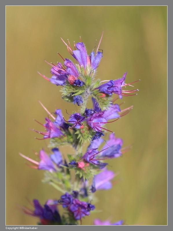 Wildblumen ( Sammelthread) - Seite 3 Wasser92