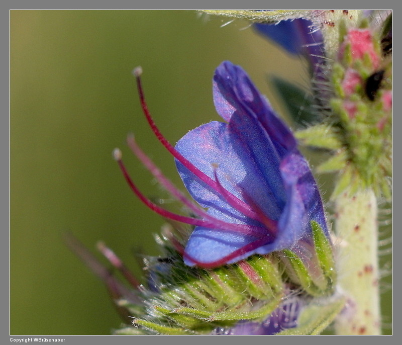 Wildblumen ( Sammelthread) - Seite 3 Wasser93