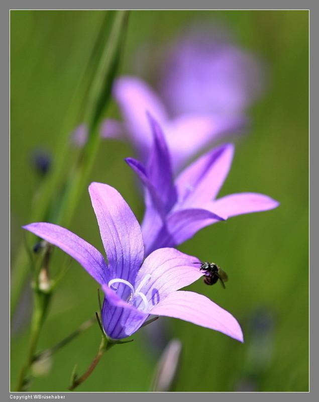 Wildblumen ( Sammelthread) - Seite 3 Wasser95