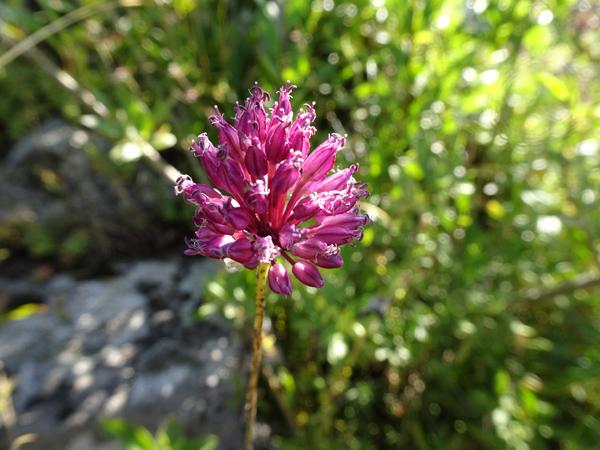 Allium sphaerocephalon - ail à tête ronde - Page 2 Allium10