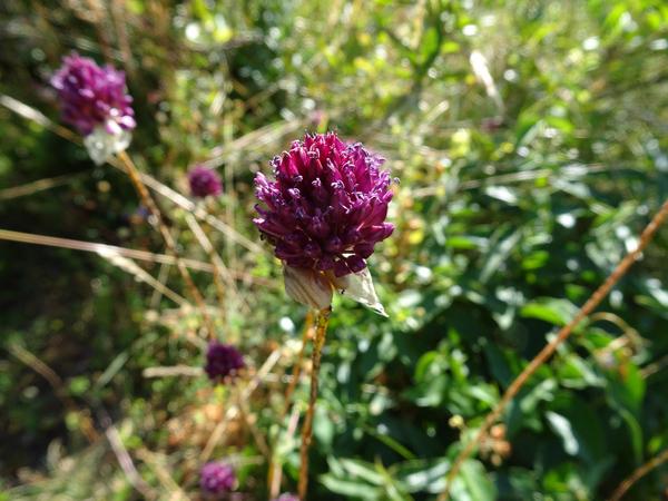 Allium sphaerocephalon - ail à tête ronde - Page 2 Allium11